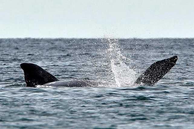 Península Valdés: Llegaron los primeros ejemplares de ballena franca austral
