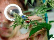 La marihuana y la enfermedad de Alzheimer